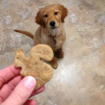 Banana dog treat in the shape of a squirrel held up to a golden retriever puppy