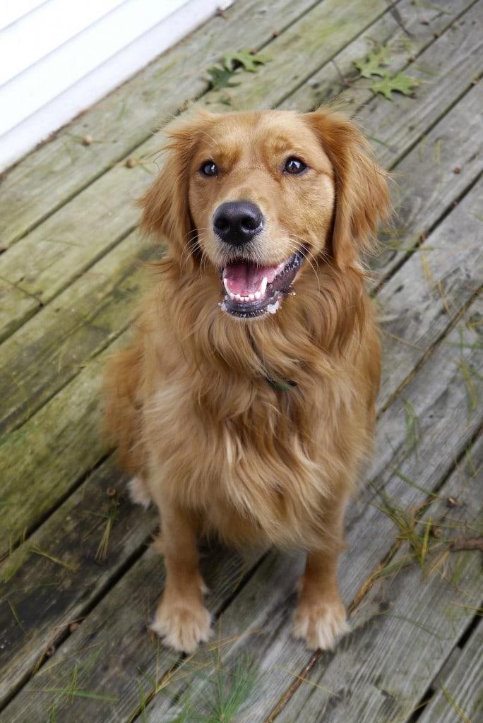 Happy Penny! Golden retriever | stressbaking.com