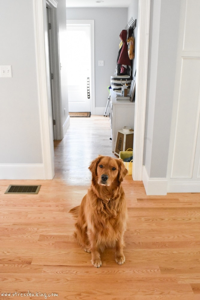 Golden retriever with head tilted