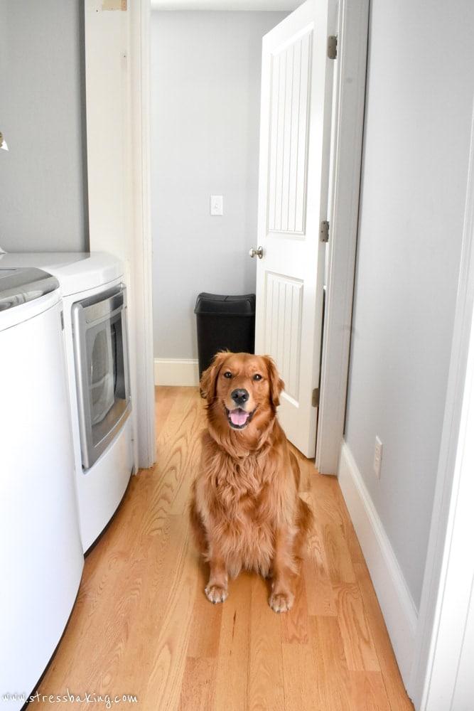 Golden retriever in a hallway